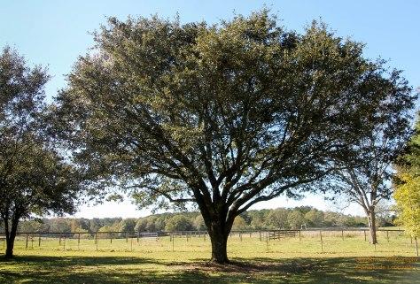 Leland's favorite Live Oak Tree