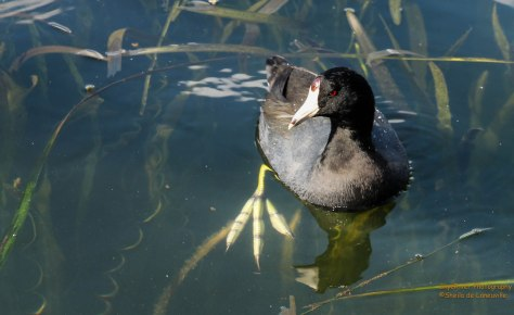 What big feet you have Mr. Coot.