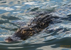 Look what we saw swimming around in Lake Sumter