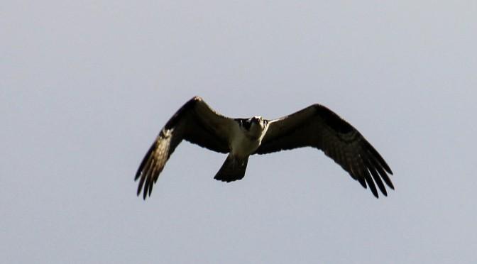 ~Osprey Pair