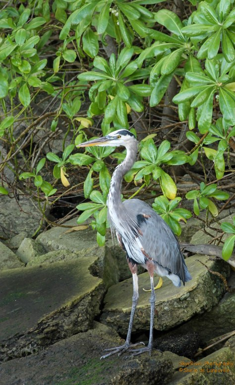 Great Blue Heron - fishing along the pier