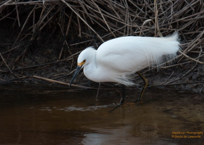 "~A Snowy Egret and a little ""this & that"""