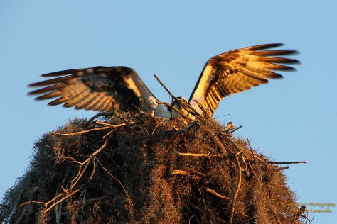 Landing back on the nest after flying around the lake.