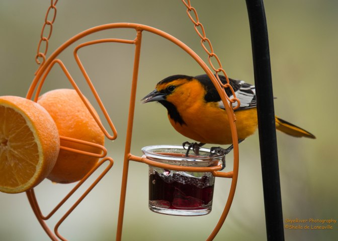 """~Today's Feathered Friend – """"Where's the Peanut Butter?"""""""