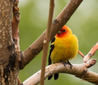 A shy Western Tanager