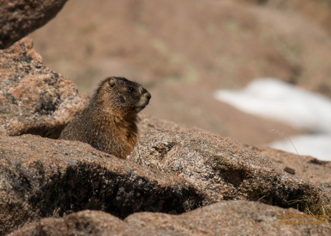 ~Critter Tuesday-Rocky Mountain