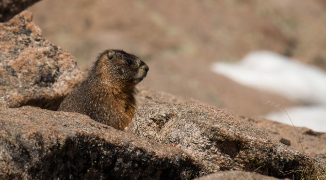 ~Critter Tuesday-Rocky Mountain