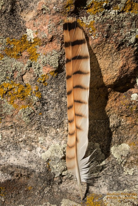 A Northern Flicker feather