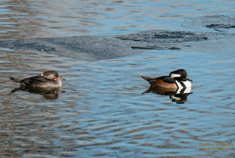 Hooded Merganser piar