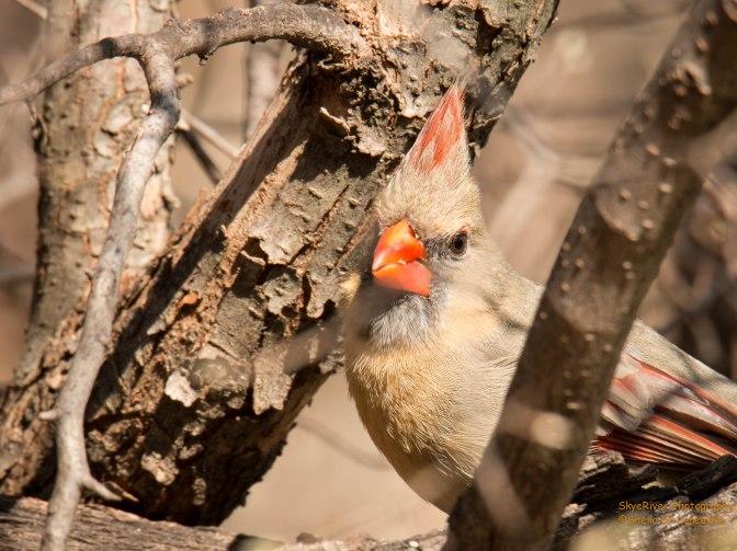~Northern Cardinal