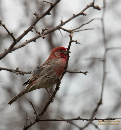 House Finch (male). Looking for a mate.