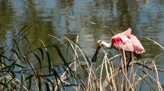 ~Birding in Texas, Roseate Spoonbills