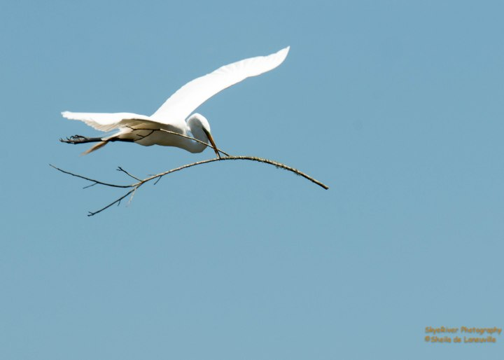 Great Egret (flyover with nesting material)