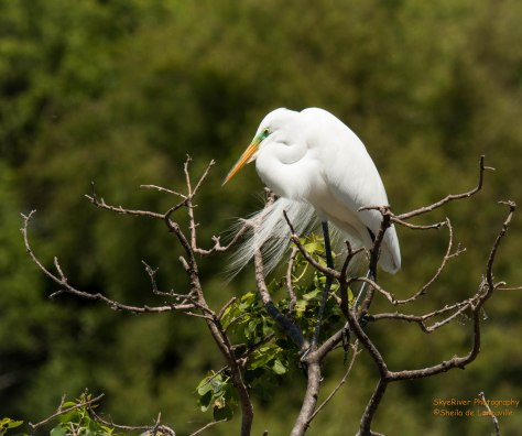 Gorgeous mail Great Egret