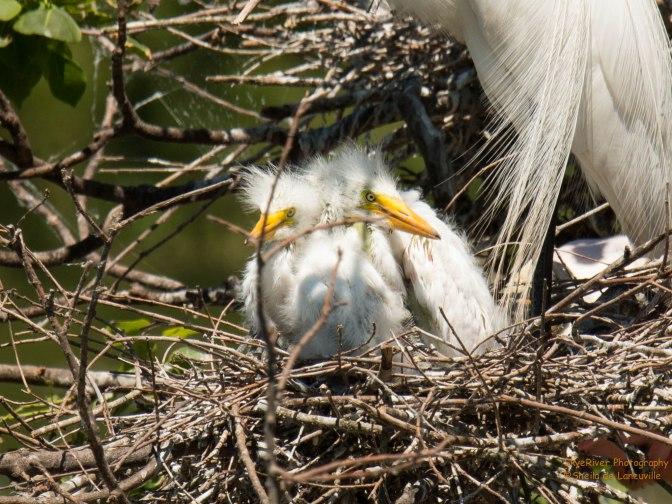 ~Birding in Texas, Little Fuzzy Heads