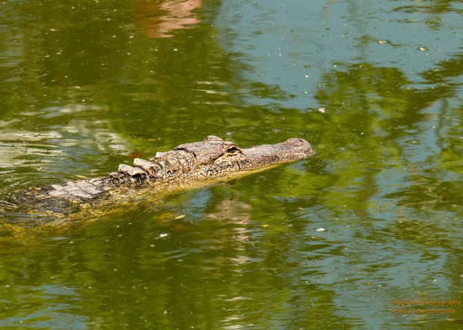 ~Birding in Texas, Alligators
