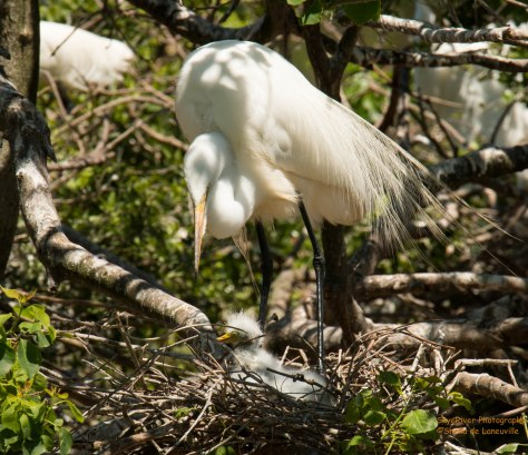 Great Egret Baby