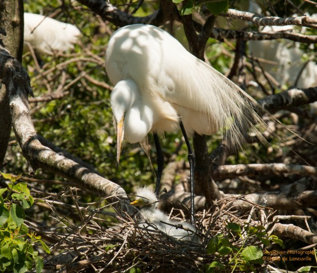 Great Egret Baby