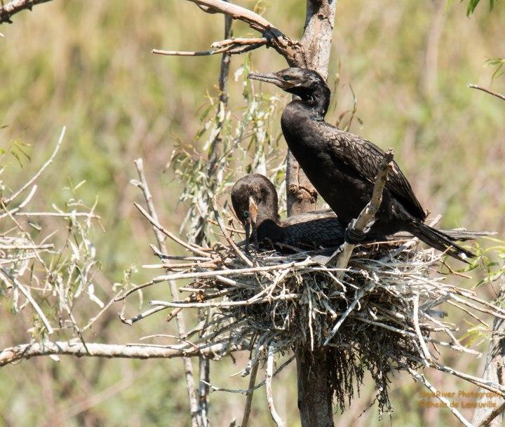 Neotropic Cormorant Pair