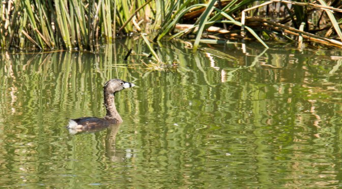 ~Birding in Texas, Smith Oaks Rookery Video