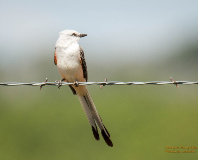 ~Birding in Texas, Scissor-tailed Flycatcher