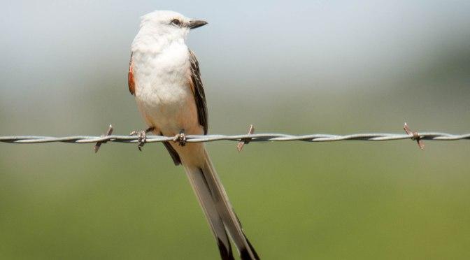 ~Birding in Texas, Scissor-tailed Flycatcher