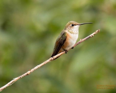 Rufous-Hummingbird