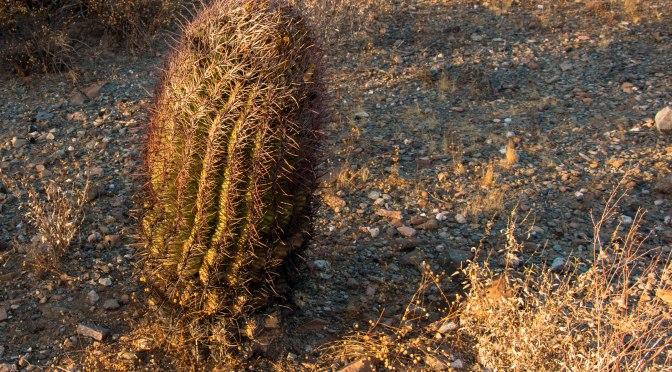 ~Icon of the Desert – Gila Woodpecker