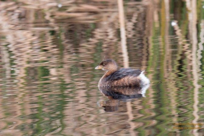 ~Ducks