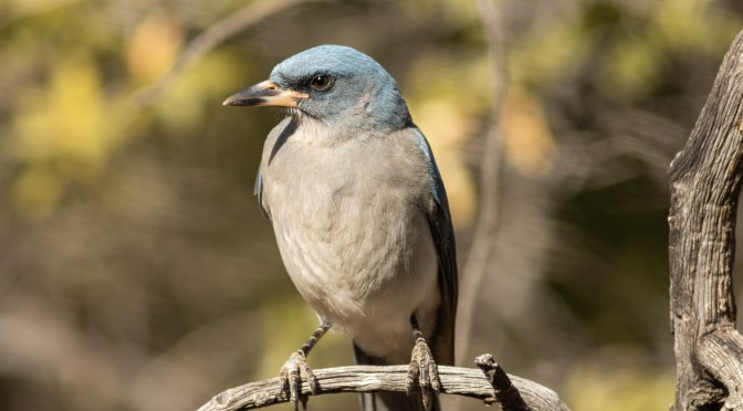 ~Arizona Birding Series-Mexican Jay