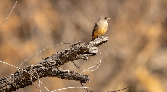 ~Arizona Birding Series – Say's Phoebe