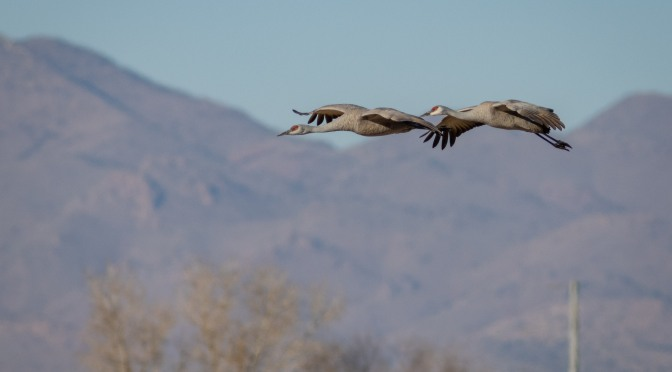 ~Arizona Birding Series-Sandhill Cranes